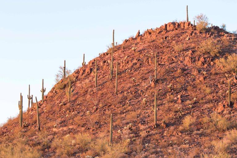 Saguaro NP-2677