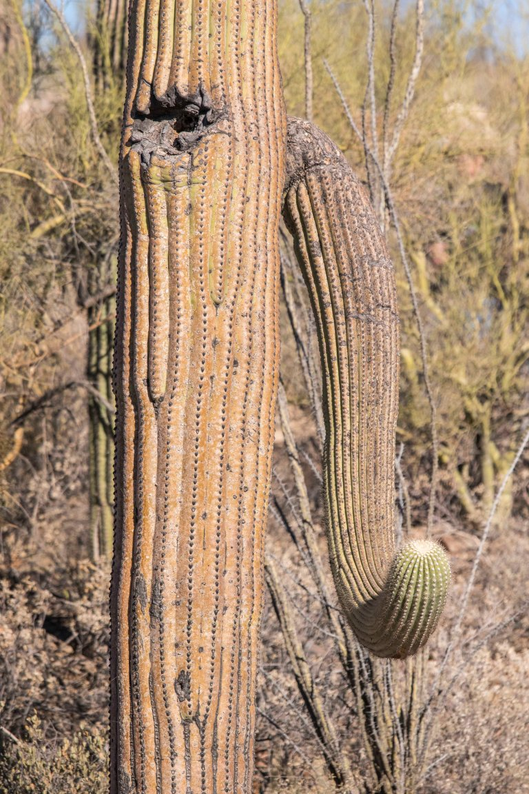 Saguaro NP-New-2696