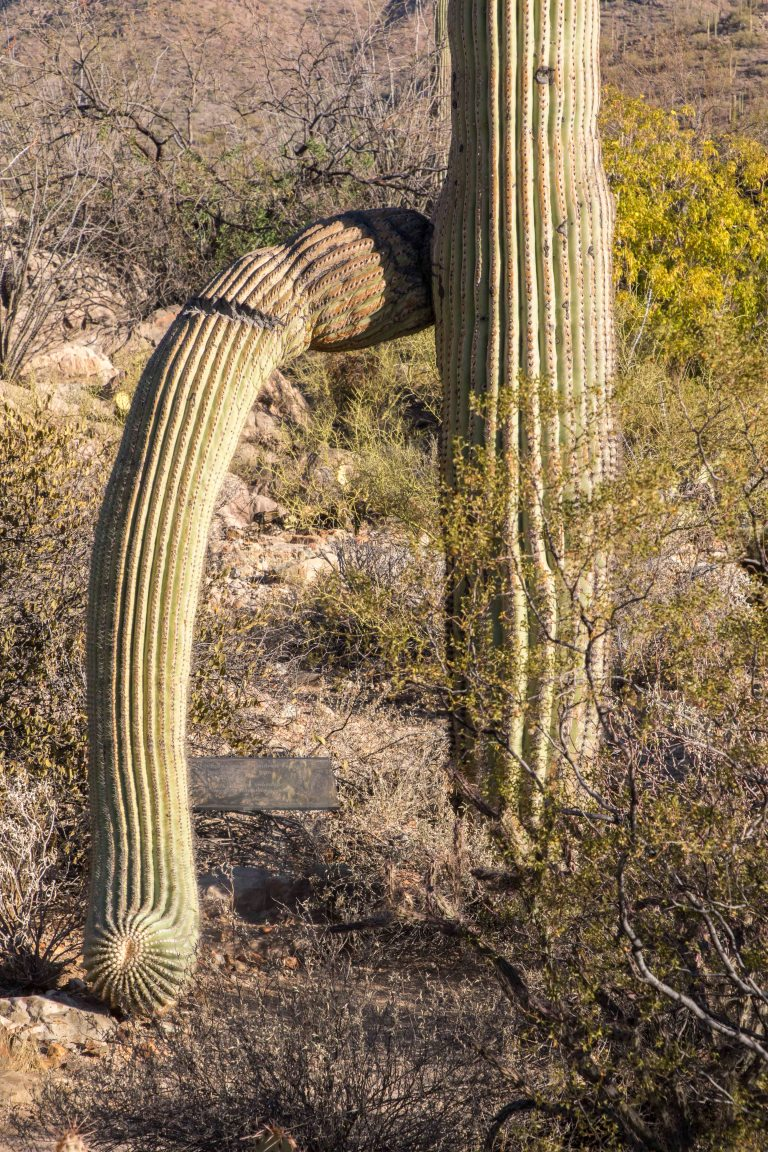 Saguaro NP-New-6371