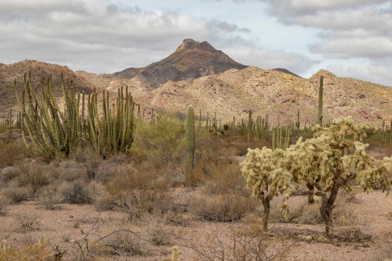 Organ Pipe Cactus-6463