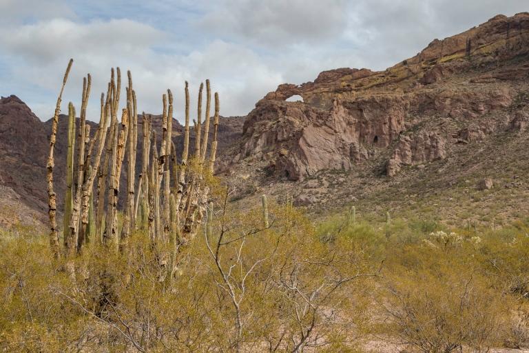 Organ Pipe Cactus-6485